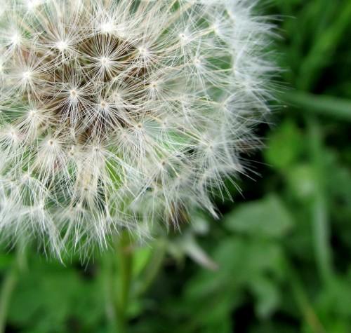 dandelion-142969_1280f87e0.jpg