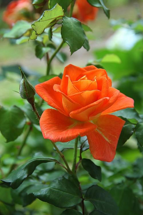 rose-178682dfe63.jpg